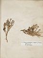 Lichenes Helvetici III IV 1842 014.jpg