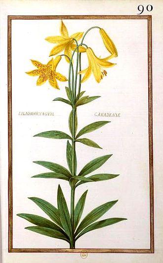 """Daniel Rabel - Lilium martagon from """"Theatrum florae"""" (1624)"""