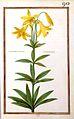 Liliomartagum canadense-Daniel Rabel-1624.jpg