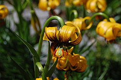 Lilium bosniacum - Blüte.JPG