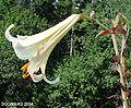 Liliumsulphureumflower6.jpg