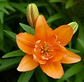 Lily -- Lilium 'Tiny Double You'.jpg