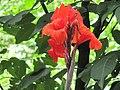Lily red.jpg