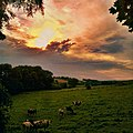 Limburgse koeien in de wei - panoramio.jpg