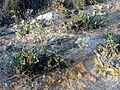 Limonium vulgare Habitus LagunadelaMata.jpg