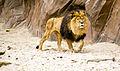 Lion in the antwerp zoo.jpg