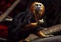 Lion tamarin.jpg
