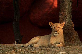Lioness by the tree.jpg