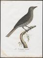 Lipangus cineraceus - 1801 - Print - Iconographia Zoologica - Special Collections University of Amsterdam - UBA01 IZ16600113.tif