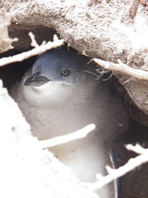 Spencer Gulf - Little penguins breed on islands in Spencer Gulf.