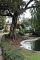 Lisbon, Jardim da Estrela, Moreton Bay fig.JPG