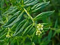 Lithospermum officinale 002.JPG