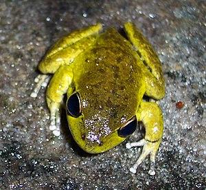 Lesueur's frog - Male Lesueur's frog