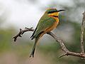 Little Bee-eater RWD3b.jpg