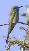 Little green bee eater (cropped)