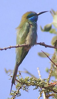 Little green bee eater (cropped).jpg