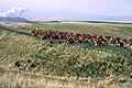 Livestock23.tif (37987952995).jpg