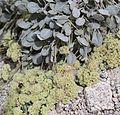 Lobbs buckwheat Eriogonum lobbii w bee.jpg