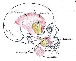 Location of Buccal Fat Pad.jpg