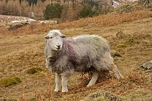 Lone Lake District Herdwick.jpg