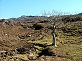 Lone tree near Rassal - geograph.org.uk - 1801007.jpg