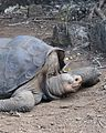Lonesome George - Pinta Island Tortoise (4806231873).jpg