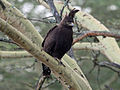 Long-crested Eagle-RWD5.jpg
