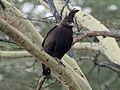Long-crested Eagle-RWD5.jpg