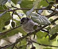 Long tailed tit 1 (3925709981).jpg