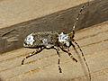 Longhorn Beetle (Lasiopezus longimanus) female (11982747033).jpg