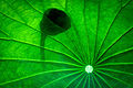 Lotus (17129277030).jpg