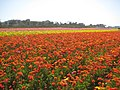 Lovely Ranunculus - panoramio.jpg