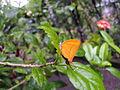 Loxura atymnus yamfly 08.JPG