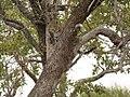Luipaard (6290412603).jpg