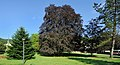 Luxembourg Bofferdange Fagus sylvatica purpurea.jpg
