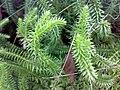 Lycopodium annotinum 07.jpg