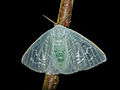 Lymantriid Moth (Arctornis sp.) (15703463942).jpg
