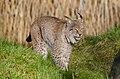 Lynx (16279042933).jpg