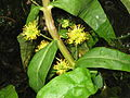 Lysimachia thyrsiflora flowers2.jpg