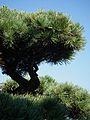 Mädchenkiefer Pinus parviflora 2011 MA.JPG