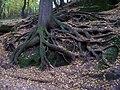 Mšeno, Debř, kořeny.jpg