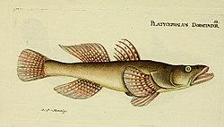 M.E. Blochii ... Systema ichthyologiae iconibus CX illustratum (Plate 12) (6006010370).jpg
