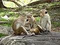 Macaca sinica in Polonnaruwa 02.JPG