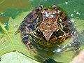 Macro, Common Frog - panoramio.jpg