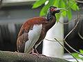Madagascar Crested Ibis RWD5.jpg