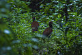 Madagascar Ibis - Andasibè - Madagascar MG 0907 (15265706476).jpg
