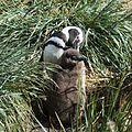 Magellanic Penguin grooming chick (5541447568).jpg