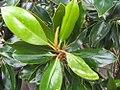 Magnolia grandiflora Little Gem 5zz.jpg