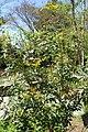Mahonia aquifolium 5zz.jpg