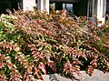 Mahonia japonica4.jpg